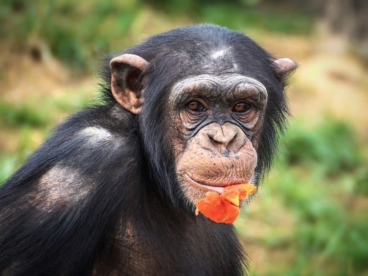 Chimpanzee, exotic pets