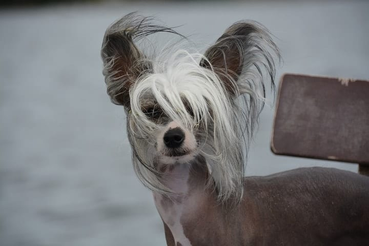 Chinese Crested Dog, exotic pets
