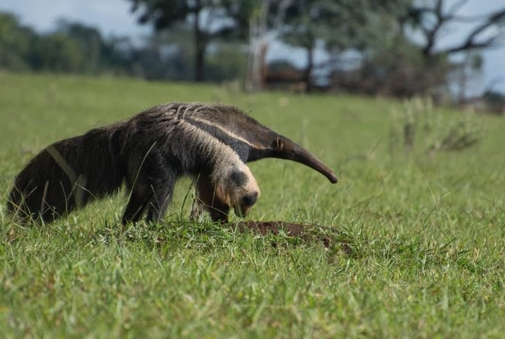 Giant Anteater, exotic pets