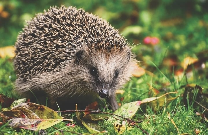 Hedgehog, exotic pets