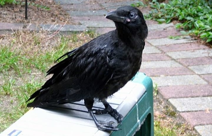 Crow sits and waits for Gabi