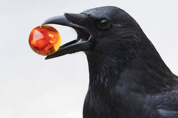 Crow giving gift in token economy