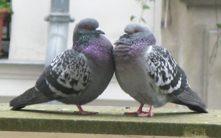 Pigeons learning economics