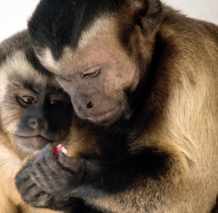 Capuchin monkeys understand economics