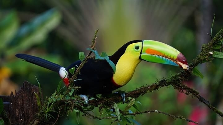 Expensive, colorful pet toucan