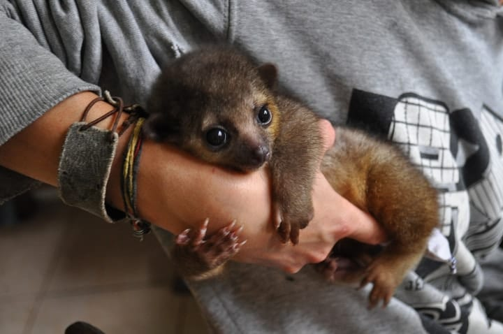 Kinkajou baby cuddly with big eyes