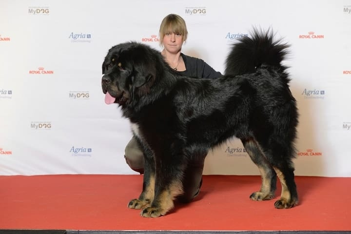 Tibetan Mastiff expensive pet, large dog