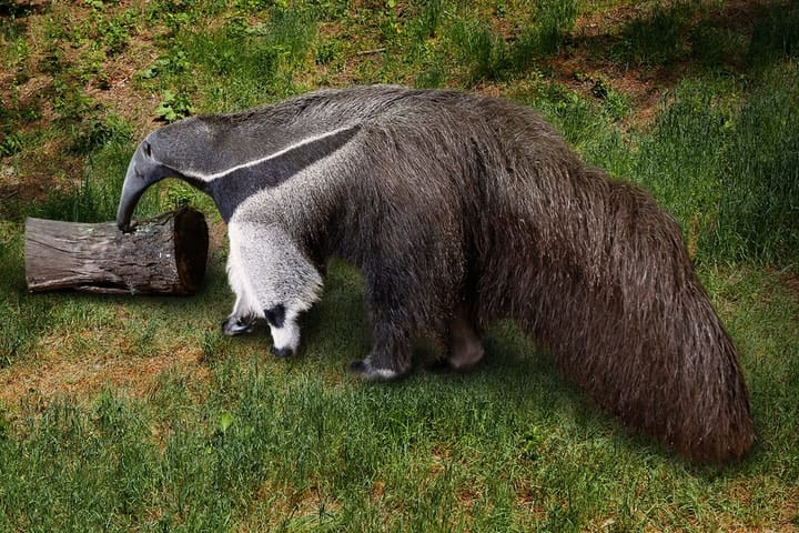Giant Anteater as a pet, very expensive