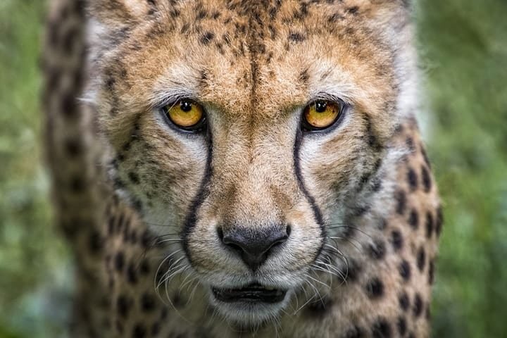 Expensive, illegal pet cheetah