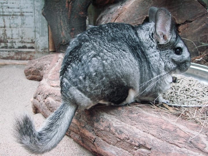 Chinchilla, exotic pets