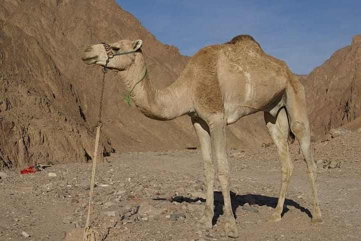 Domestic Dromedary Camel, exotic pets