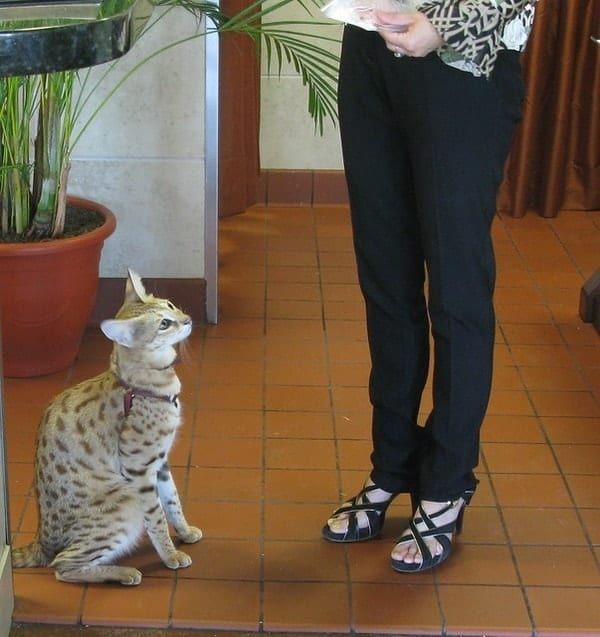 Savannah cat, exotic pets