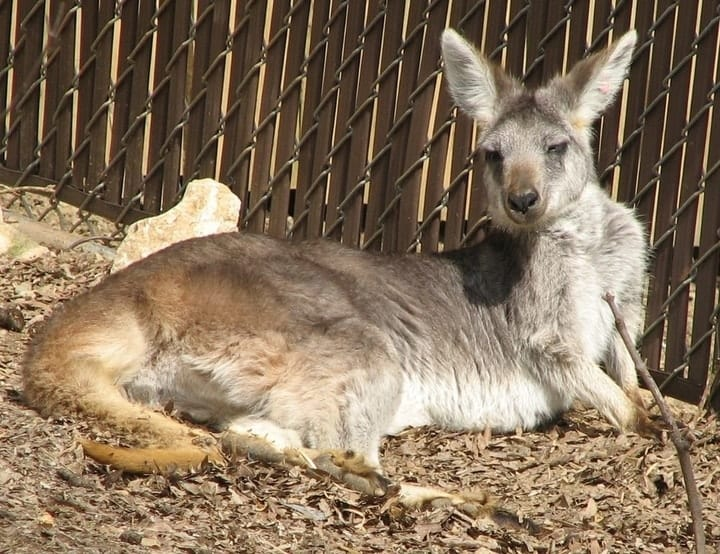 Wallaroo, exotic pets