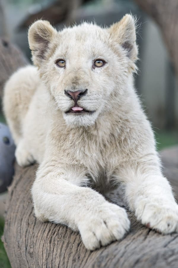 white lion club, exotic pets