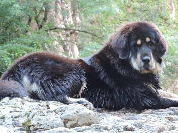 most expensive dogs, Tibetan mastiff