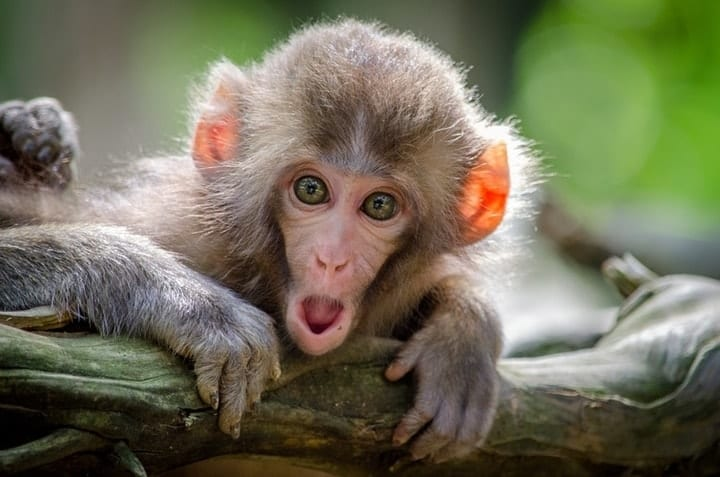 wasted taxpayer money, national institute for health, Macaque monkeys