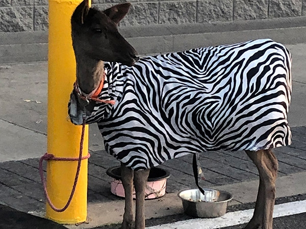Walmart Zebra, great value zebra