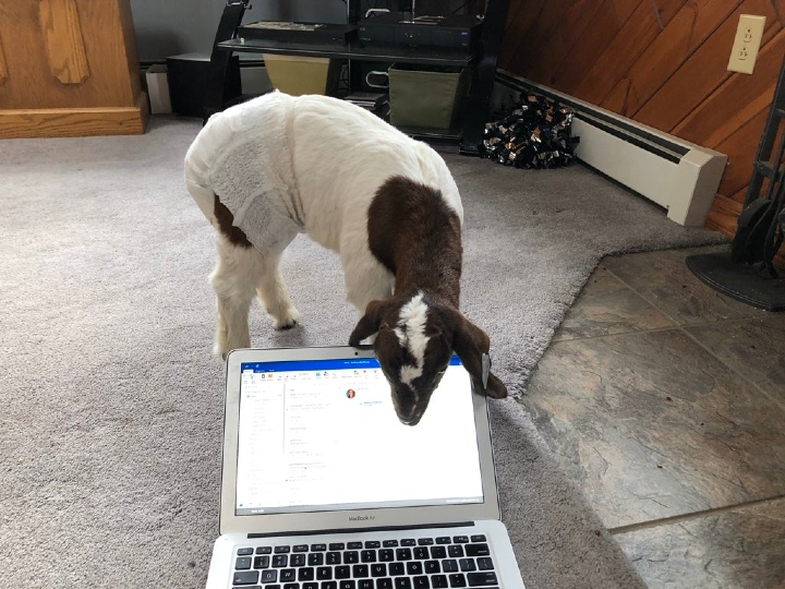 goat on laptop, pets work from home