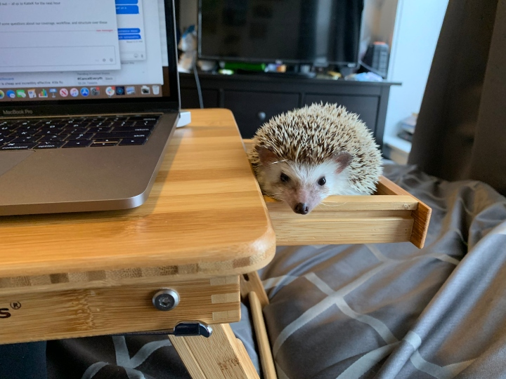hedgehog desk, pets work from home